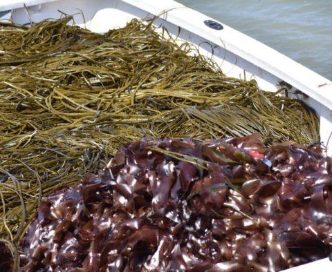 Les récoltes d'algues du moment
